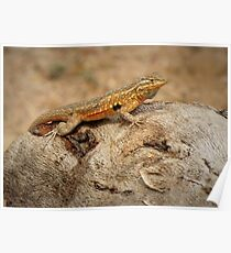 Common Side-blotched Lizard (Male) Poster