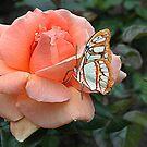 Peach Rose by Irene  Burdell
