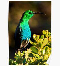Male Malachite sunbird Poster