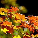 Backlit Vine Maple Leaves by Jim Stiles