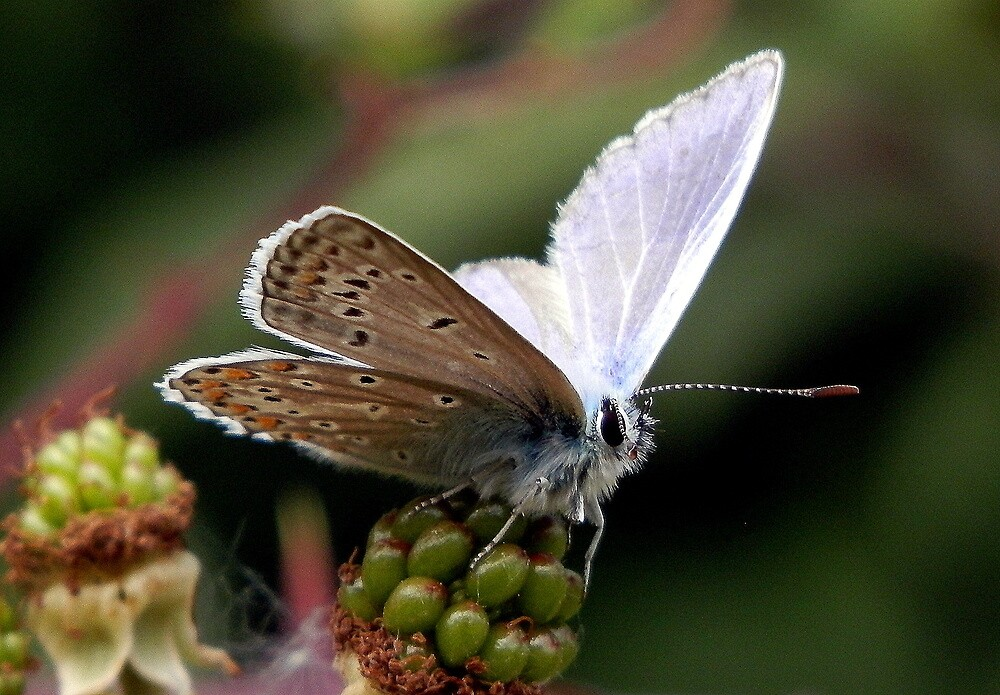 Blue Butterfly by Lisa Kent