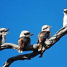 Babies Day  Out  Kookaburra's  Canberra Australia by Kym Bradley