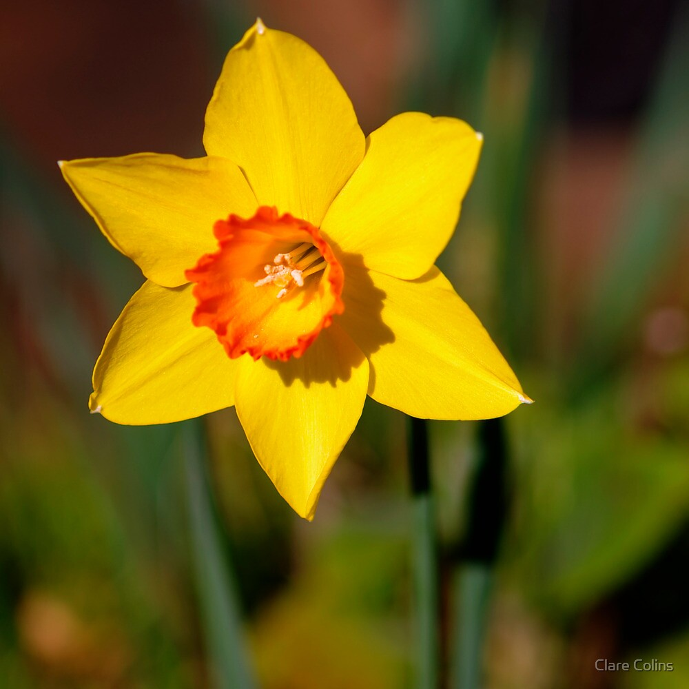 Sunshine on a Daffodil by Clare Colins