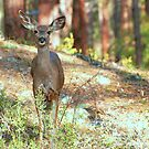 Doe A Deer by K D Graves Photography