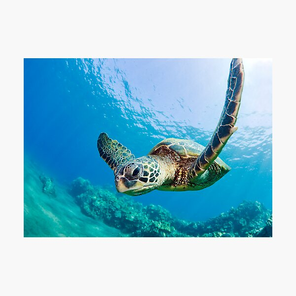 Green Sea Turtle over Reef Photographic Print