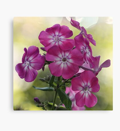 Tall Garden Phlox Canvas Print
