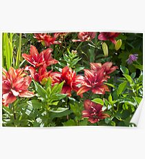 Lilies Aglow  Poster