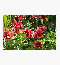 Lilies Aglow  Photographic Print