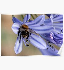 Bee On Agapanthus Flower Poster