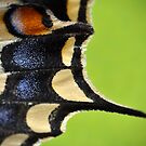 Swallowtail Wing by Kasia Nowak