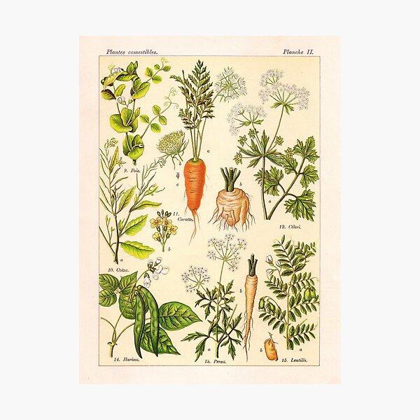 Vintage French botanical illustration -  Henri Coupin - Plantes comestibles planche 2 Photographic Print