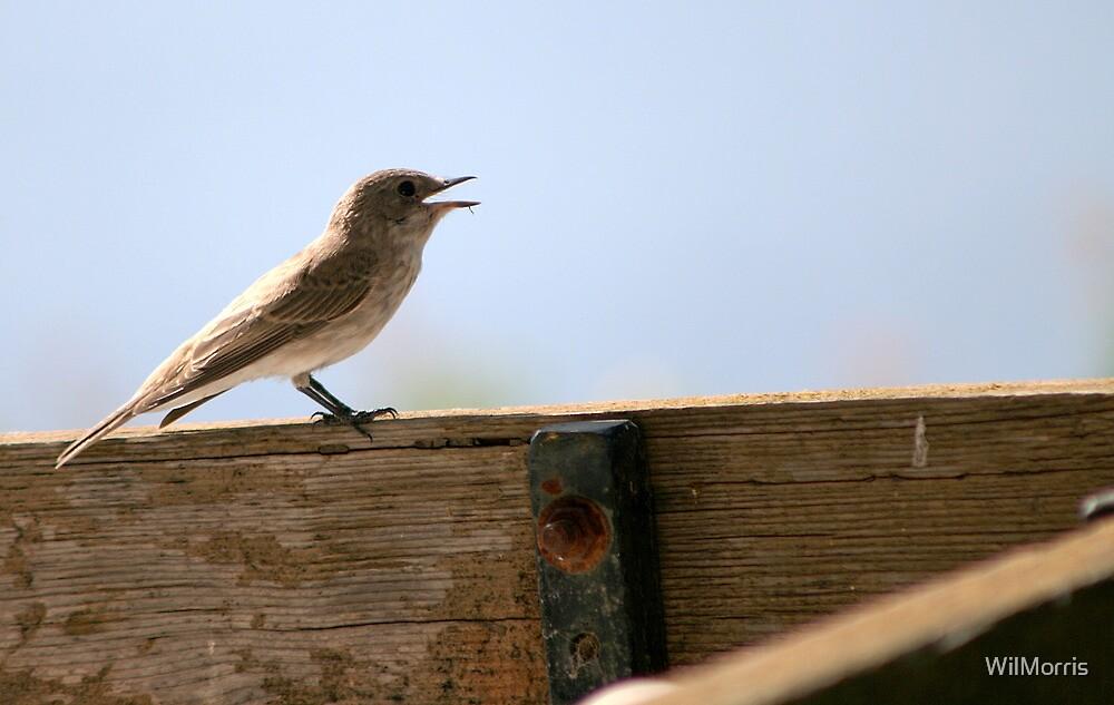 Calling Bird by WilMorris