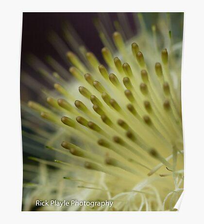 Dryandra Flower Poster
