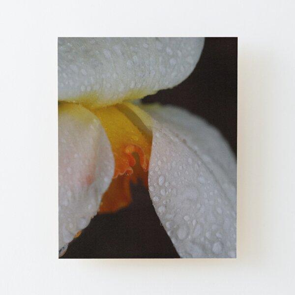 Rain Kissed Daffodil Wood Mounted Print