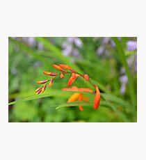 Crocosmia (Montbretia) waiting to flower on a warm summer da Photographic Print