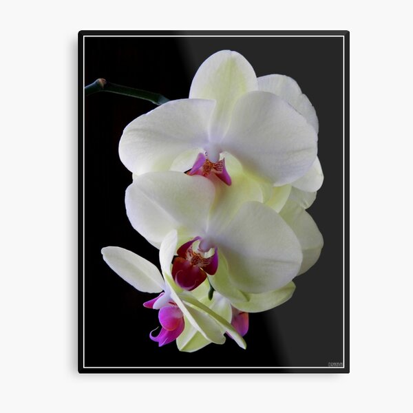 Ice Orchids Metal Print