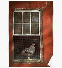 Animal - Bird - Chicken in a window Poster