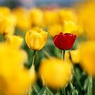 Beautiful Tulips by printscapes