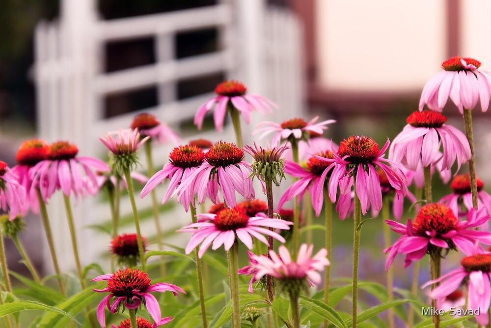 Flower - Cone Flower - In an English garden  by Michael Savad
