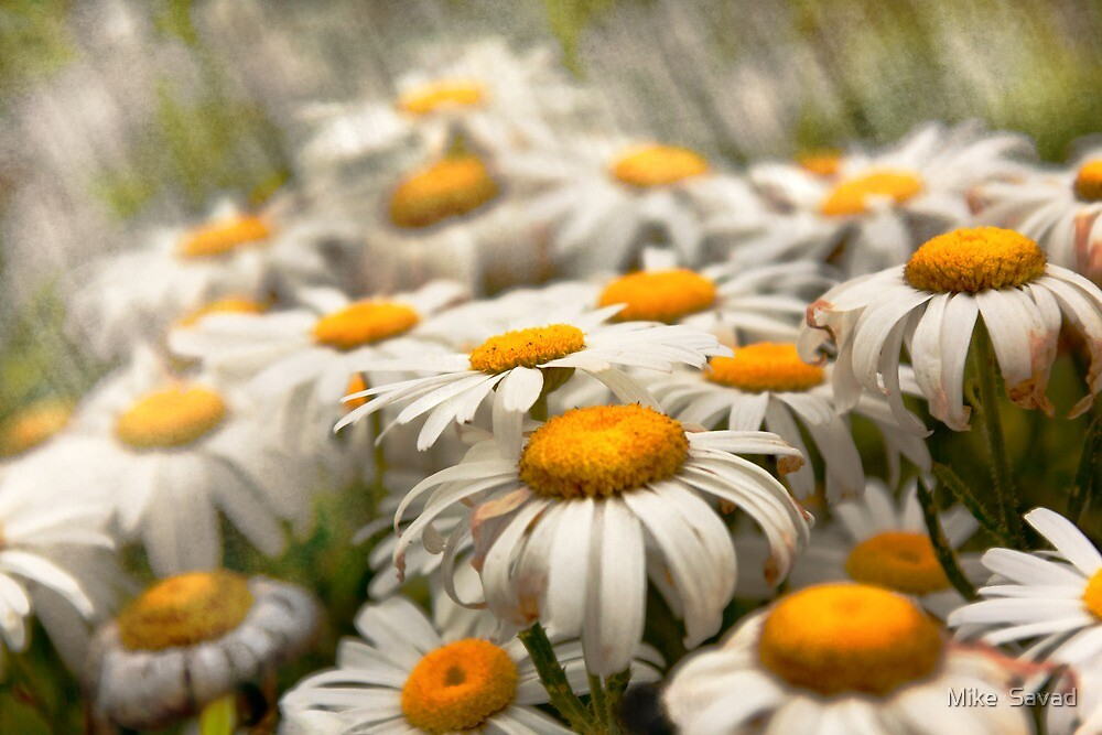 Flower - Daisy - Not quite fresh as a daisy by Michael Savad