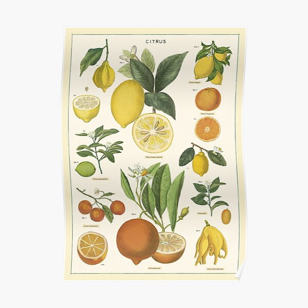 Vintage Citrus Specimen Illustration Poster