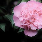 Camellia by Jeanette Varcoe.