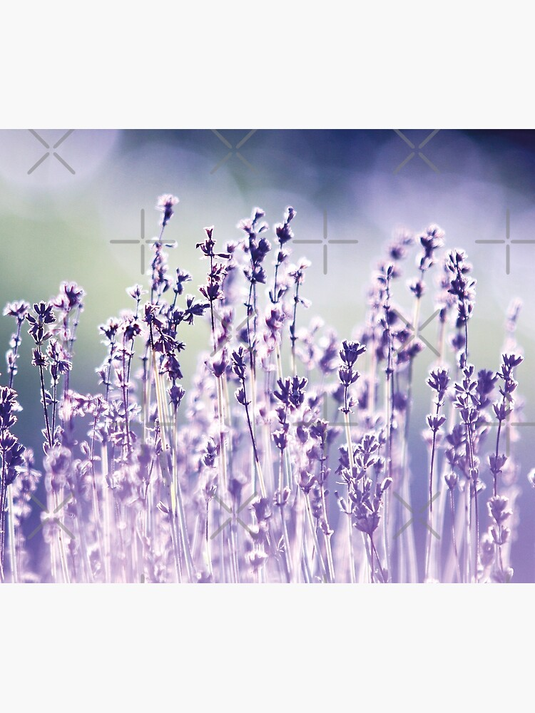 Purple summer field, lavender by ColorsHappiness