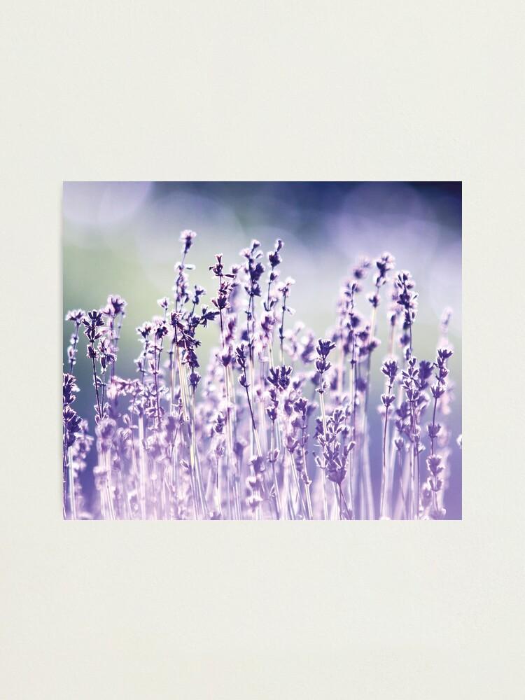 Alternate view of Purple summer field, lavender Photographic Print