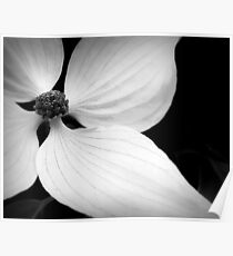 The Delicate Lines of Dogwood Poster
