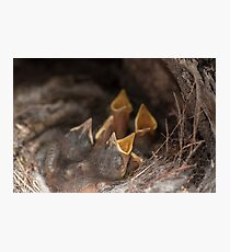 Sparrow chicks in a nest Photographic Print