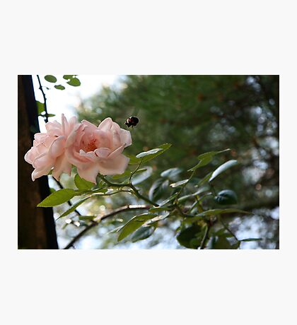 All abuzz about Roses Photographic Print