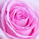 Pink Rose by Stephen Knowles