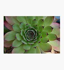 Houseleek (Sempervivum) Photo with purple tips Photographic Print
