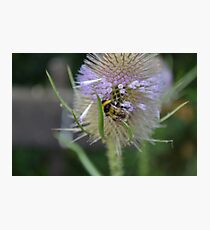 Bumble Bee sitting on a Teasel (Dipsacus) Photographic Print