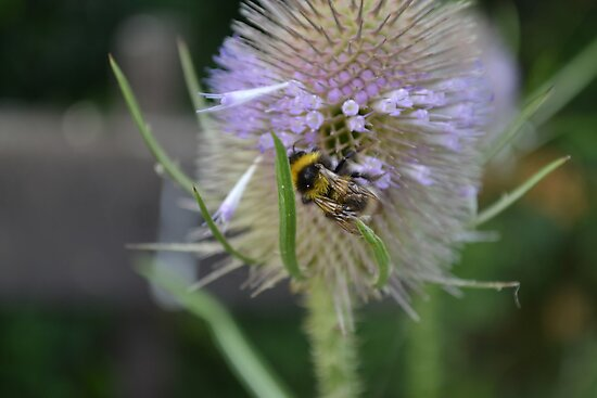 Bumble Bee sitting on a Teasel (Dipsacus) by Scott Lyons