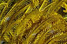 Yellow feathers by David Wachenfeld