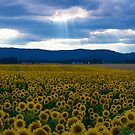 Sunflowers with Godlight by gloriart