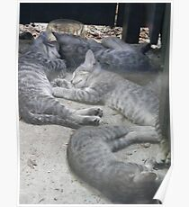 Contented Wild Kittens Poster