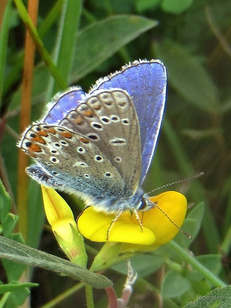 Common Blue on Yellow by ienemien