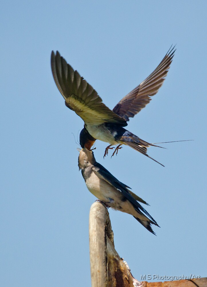Swallows by M S Photography/Art