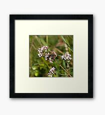Brown Argus Butterfly Framed Print