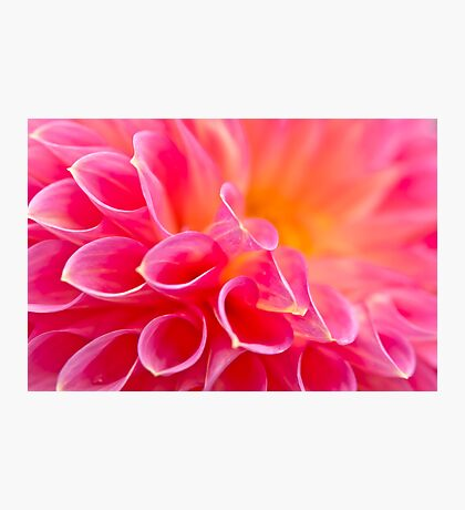 Close up of a Dahlia Photographic Print