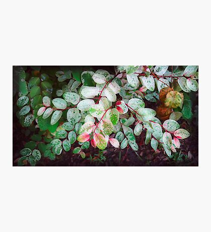 Snowbush Photographic Print