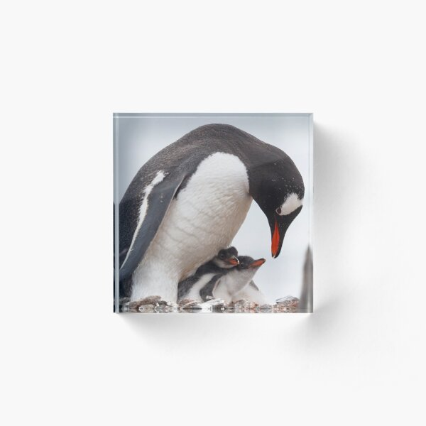 Penguin Chicks  Acrylic Block