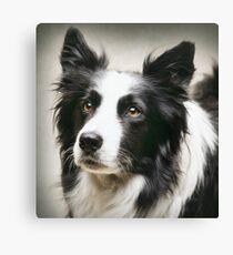 Working Border Collie Canvas Print