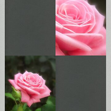 Pink Roses in Anzures 3 Blank Q6F0 by TravelPhotoArt