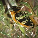 Black-headed Grosbeak (Breeding Male) by Kimberly Chadwick