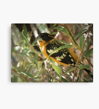 Black-headed Grosbeak (Breeding Male) Canvas Print