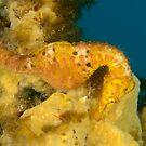 Female Pot-Bellied Seahorse - Hippocampus abdominalis by Andrew Trevor-Jones