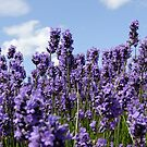 Lavender Reaching for the Sky by AnnDixon